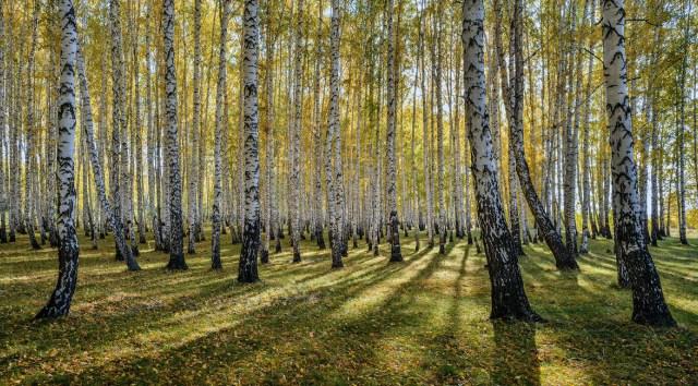 береза, лес, лето
