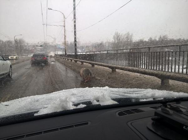 Свинья Кострома мост