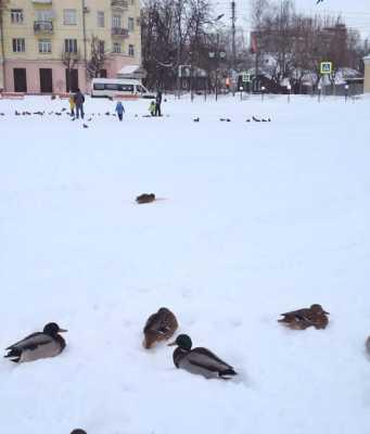 Кострома, Новости, Утки